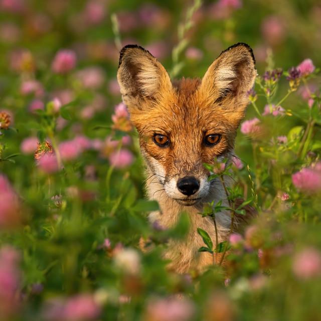 """""""Portrait of wild fox between pink flowers in summer"""" stock image"""
