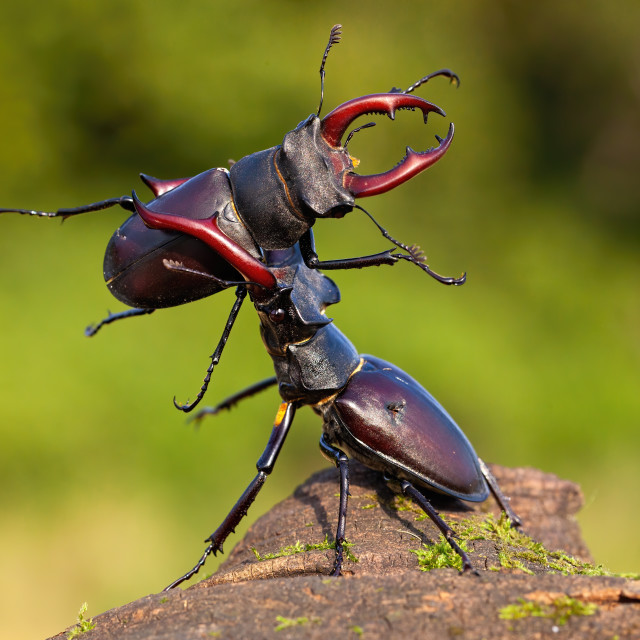 """Two stag beetles contesting their power over territory"" stock image"