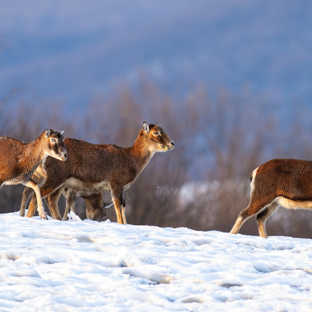 """""""Herd of wild mouflons walking on snow covered field in winter"""" stock image"""