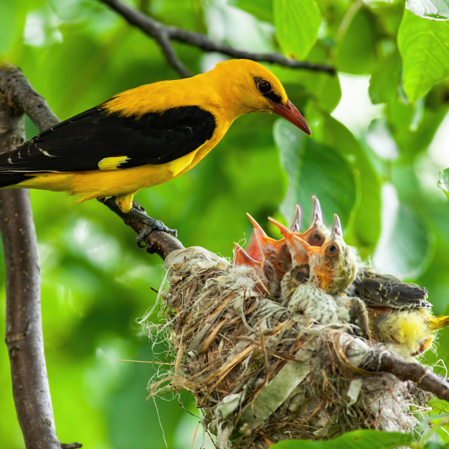 """""""Golden oriole parenting in green nature in summertime"""" stock image"""