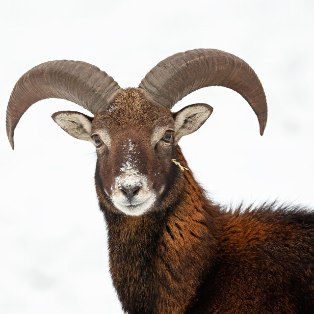 """""""Close-up of curious wild mouflon looking to camera in wintertime."""" stock image"""