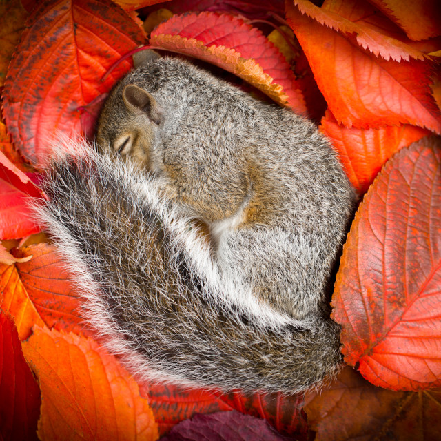 """Sleeping Squirrel"" stock image"