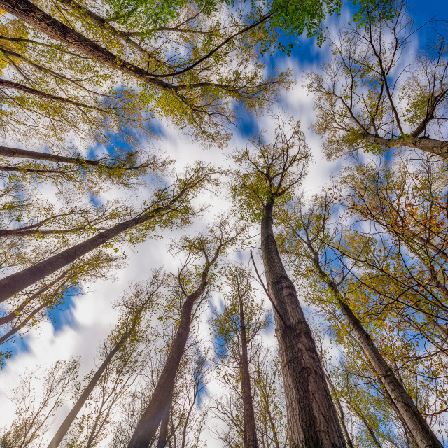 """""""Nice poplar trees from bottom view in a sunny day in Spain"""" stock image"""