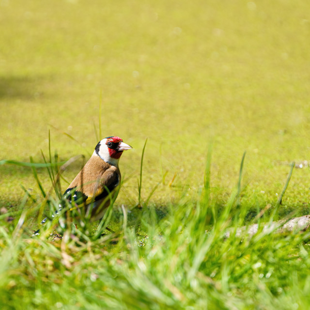 """""""European Goldfinch (Carduelis carduelis) in grass next to a pond in the UK"""" stock image"""