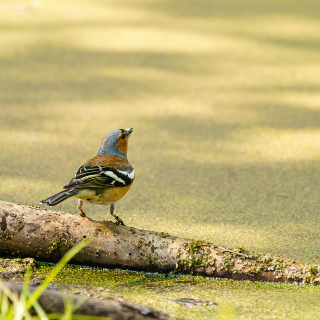 """""""Chaffinch (Fringilla coelebs) perched next too a green pond, taken in the UK"""" stock image"""