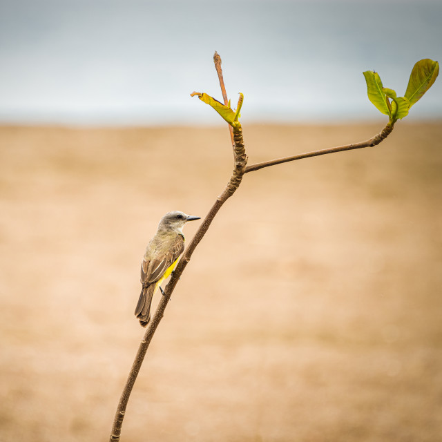 """Tropical kingbird (Tyrannus melancholicus) perched on a thin branch"" stock image"