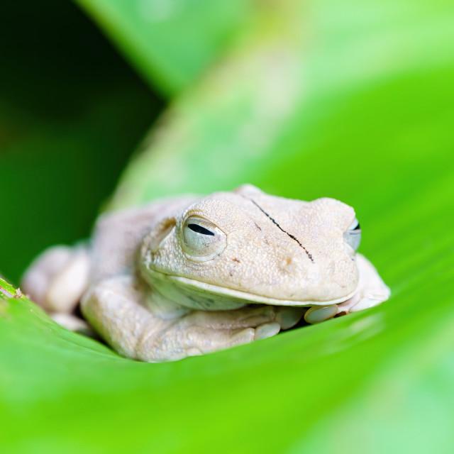 """""""Gladiator Tree Frog (Hypsiboas rosenbergi) close-up, taken in Costa Rica"""" stock image"""