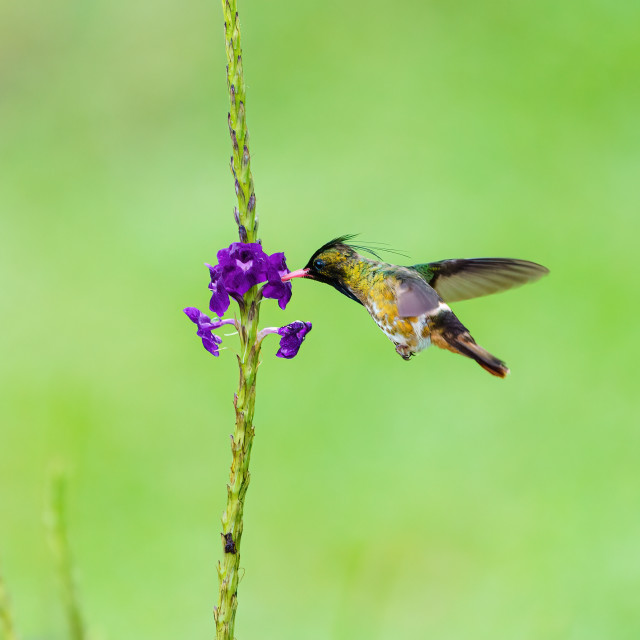 """Black-crested Coquette (Lophornis helenae) hummingbird feeding form a small..."" stock image"