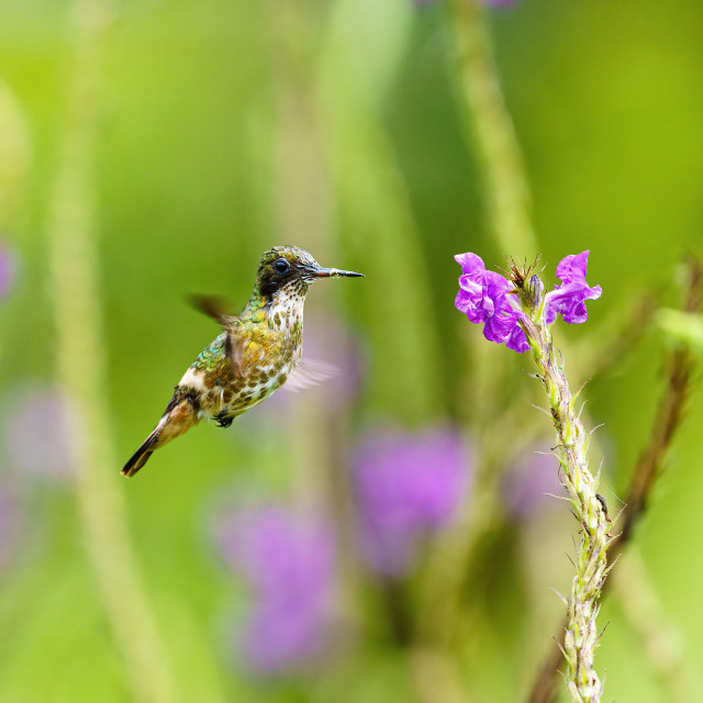 """""""Black-crested Coquette (Lophornis helenae) hummingbird hovering near flwoer..."""" stock image"""