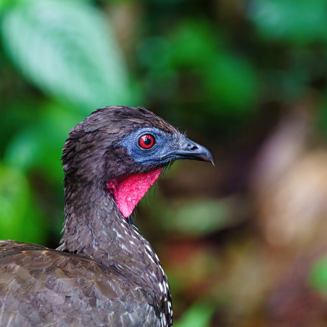 """Crested guan (Penelope purpurascens) in dark jungle in Costa Rica"" stock image"