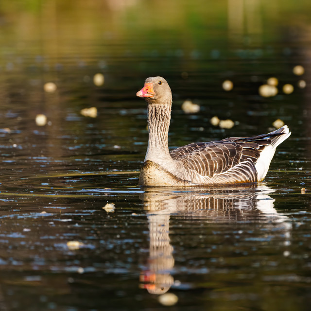 """Greylag Goose (Anser anser) on a pond, taken in England"" stock image"