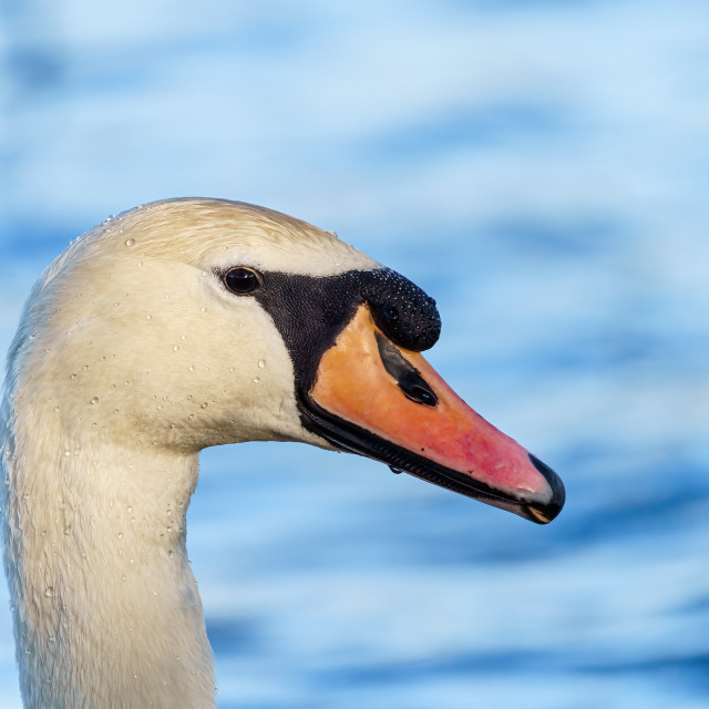 """Mute swan (Cygnus olor) close-up portrait, taken in the UK"" stock image"