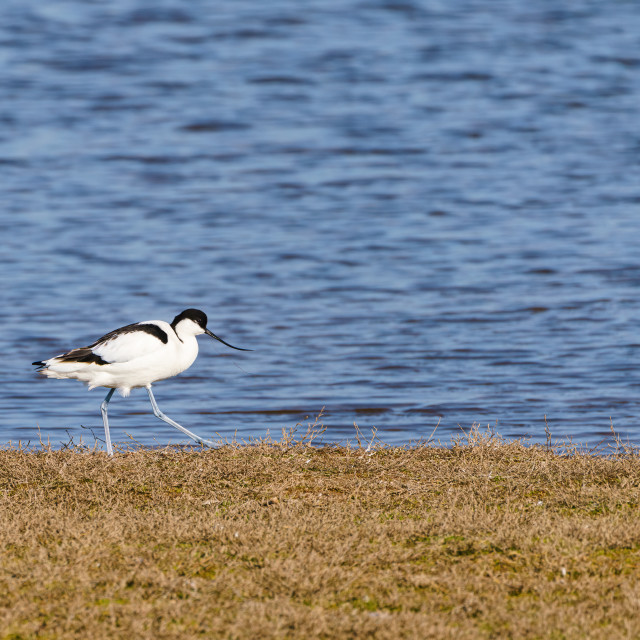 """Pied Avocet (Recurvirostra avosetta) walking along grassy bank of a dam at..."" stock image"