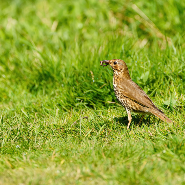 """""""Song Thrush (Turdus philomelos) with caught worm, taken in the UK"""" stock image"""