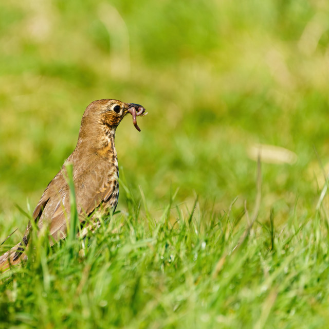 """""""Song Thrush (Turdus philomelos) with worm in it's beak, taken in the..."""" stock image"""