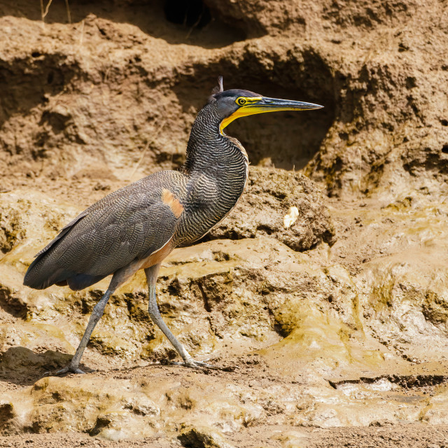 """Bare-throated Tiger Heron (Tigrisoma mexicanum) on a muddy riverbank in Costa..."" stock image"
