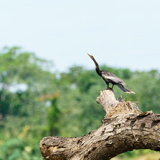 """Anhinga (Anhinga anhinga) perched on a fallen tree, taken in Costa Rica"" stock image"