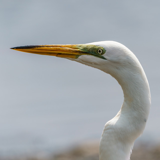 """Great Egret (Ardea alba) close-up of head, taken in Costa Rica"" stock image"