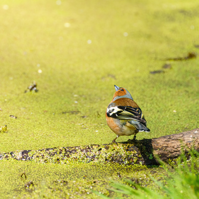 """""""Chaffinch (Fringilla coelebs) next to a pond, looking up to the sky, taken in..."""" stock image"""