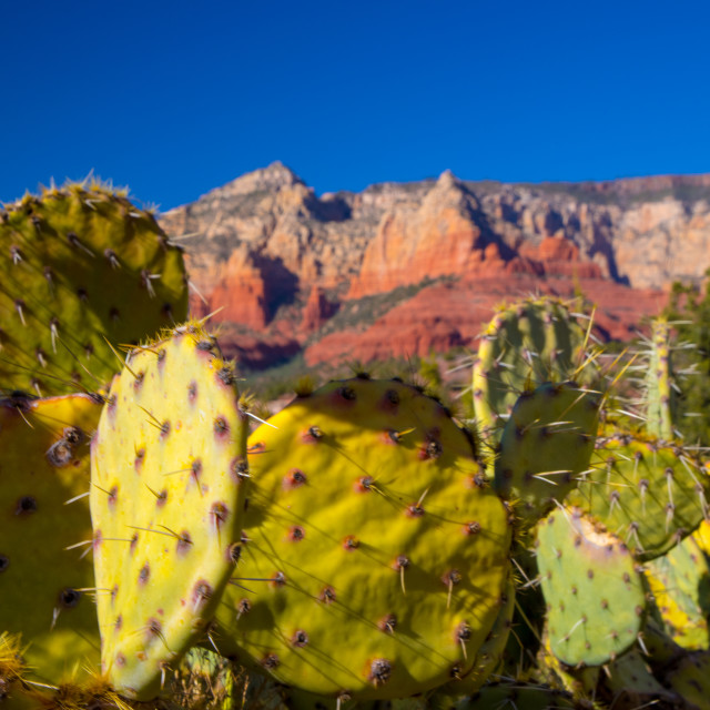"""Sedona Cacti"" stock image"