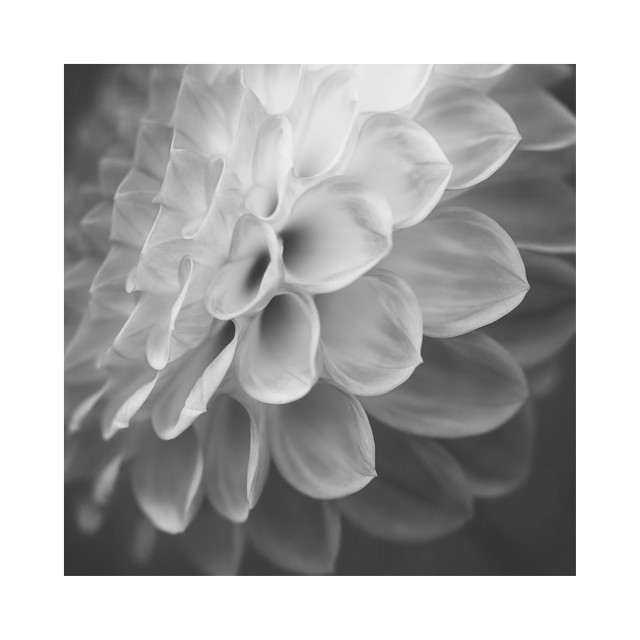 """Black and White Dahlia"" stock image"