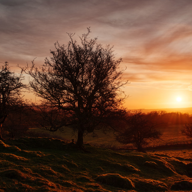 """""""Sunset thorn trees"""" stock image"""