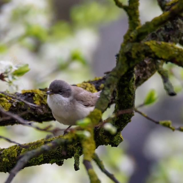 """Lesser whitethroat (Sylvia curruca) bird on tree in garden."" stock image"