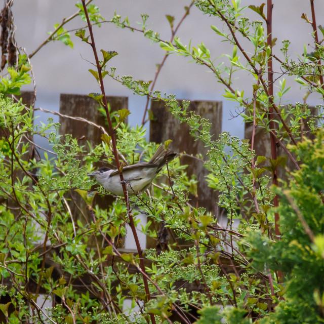 """""""Eurasian blackcap, Sylvia atricapilla bird in garden. Spring time."""" stock image"""