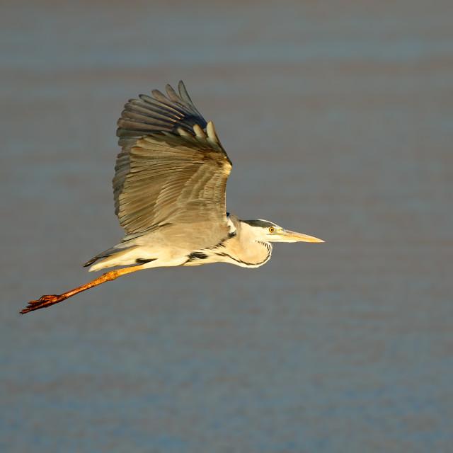 """Grey heron in flight"" stock image"