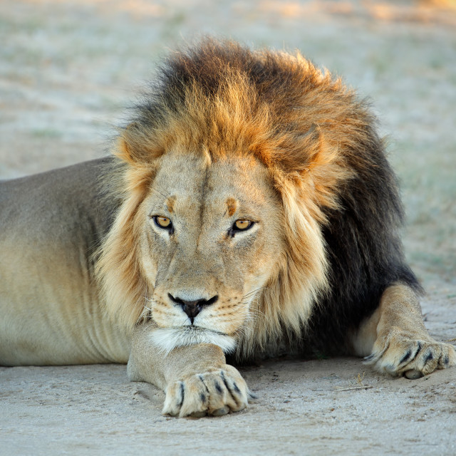 """""""Big male African lion resting"""" stock image"""