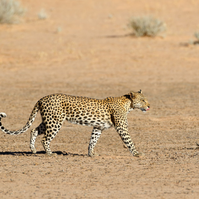 """Leopard walking - Kalahari desert"" stock image"