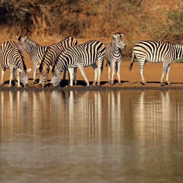 """""""Plains zebras drinking water - Kruger National Park"""" stock image"""