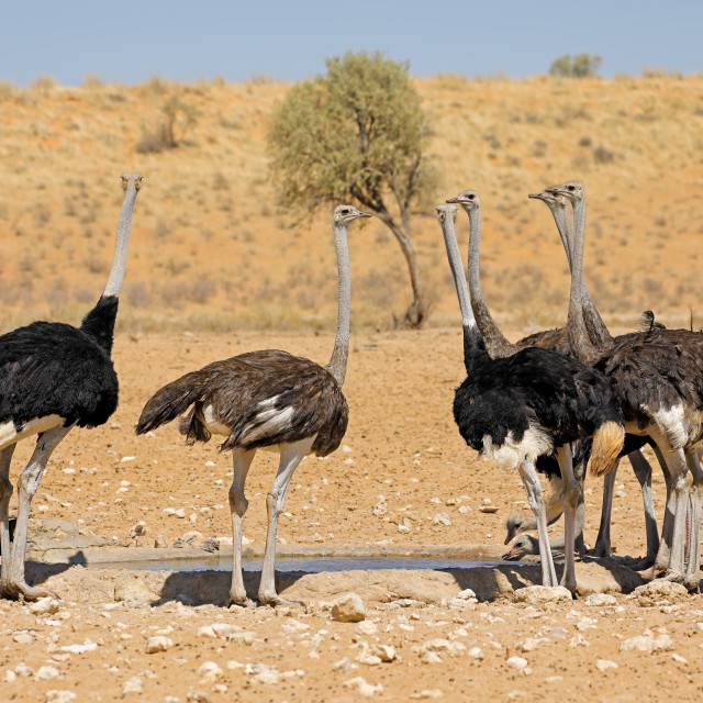 """""""Ostriches drinking water at a waterhole"""" stock image"""