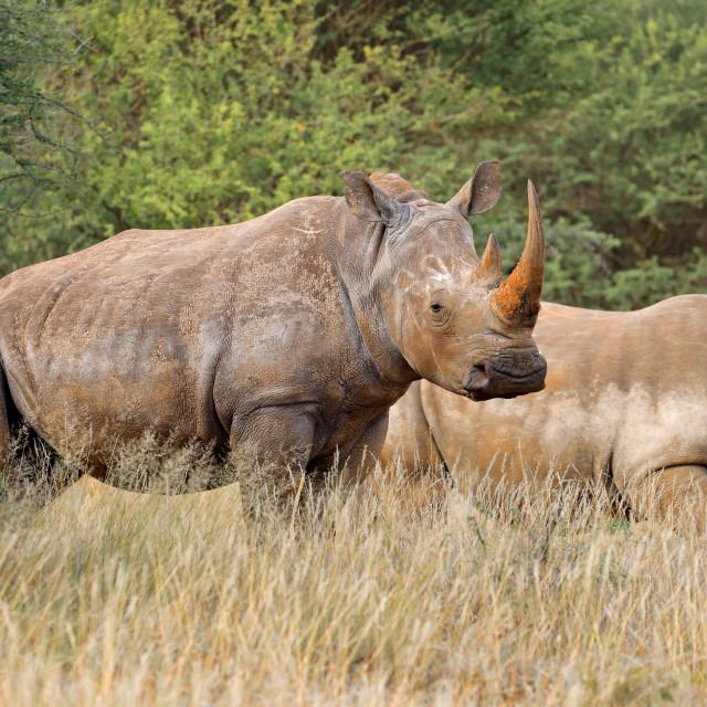 """""""White rhinoceros in natural habitat"""" stock image"""