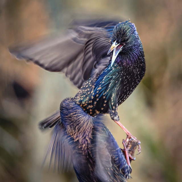 """Starling Defending its Territory"" stock image"