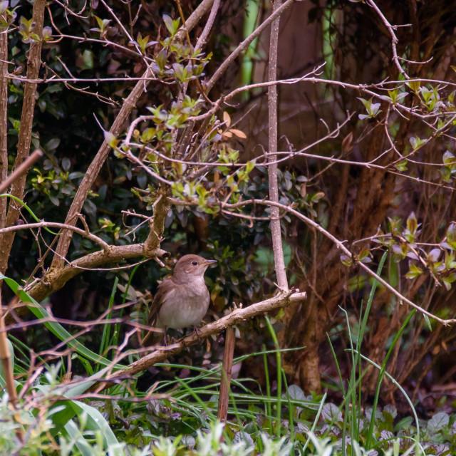 """""""Thrush nightingale, Luscinia luscinia bird in garden. Spring time."""" stock image"""