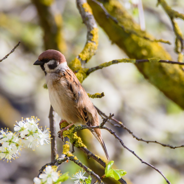 """Eurasian tree sparrow, Passer montanus on tree. Spring time."" stock image"