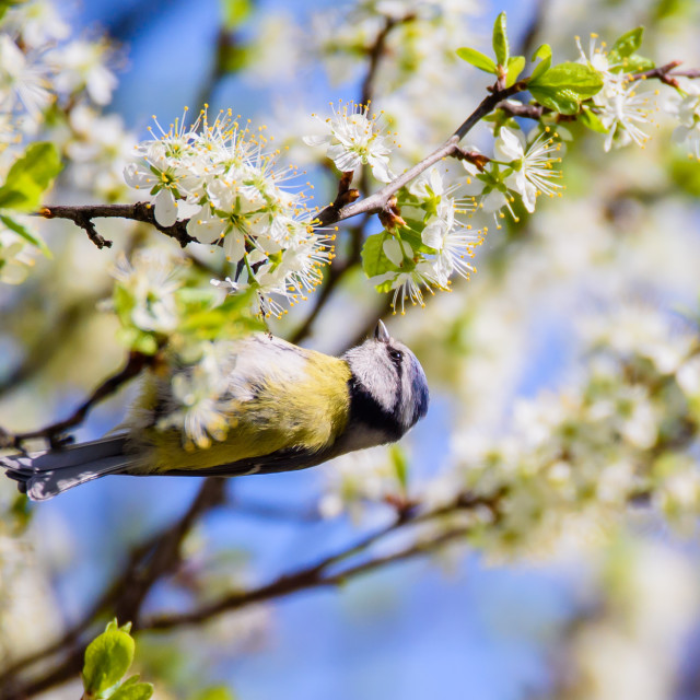 """Eurasian blue tit bird. Cyanistes caeruleus. Birds in garden, spring time."" stock image"