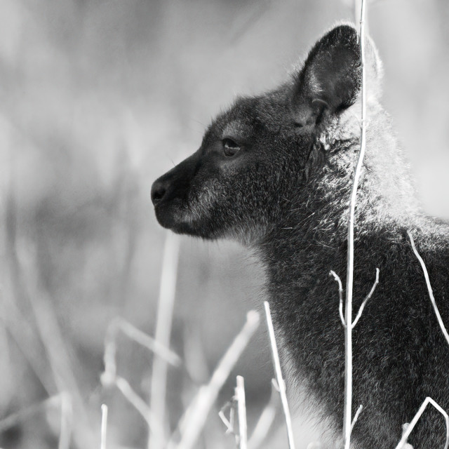 """Wallaby in profile"" stock image"