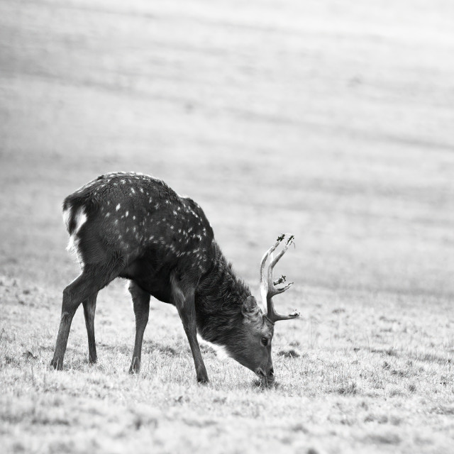 """Manchurian Sika Deer"" stock image"