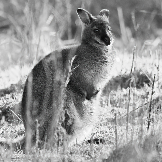 """Wallaby in the grass"" stock image"