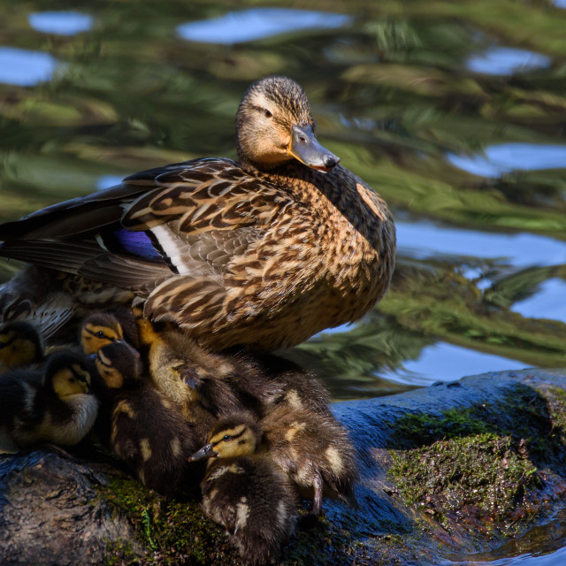 """Mallard duck with baby ducks. Summer time."" stock image"