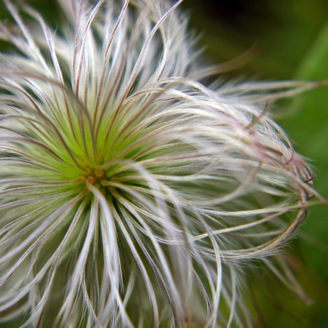 """Fluffy Allium Natural"" stock image"