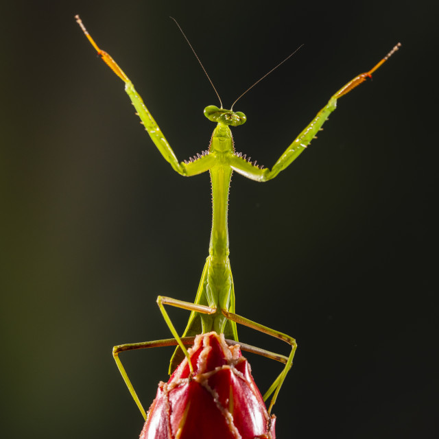 """A praying mantis standing on a flower"" stock image"