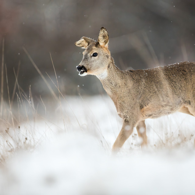 """Roe deer doe with a broken ear walking through snow on a meadow in winter"" stock image"