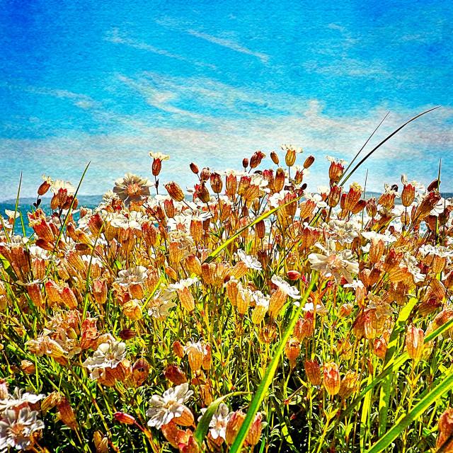 """""""Shoreline Sea Campion"""" stock image"""