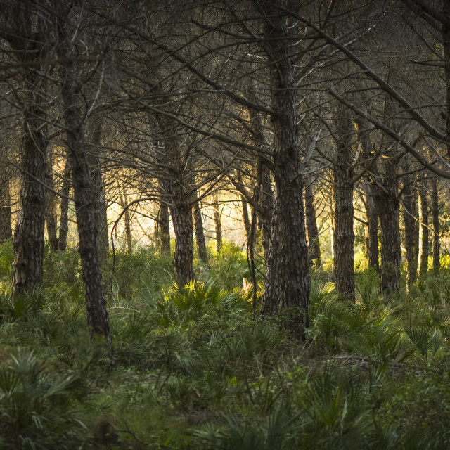"""""""Evening sunlight through trees in pine forest, Andalusia, Spain."""" stock image"""