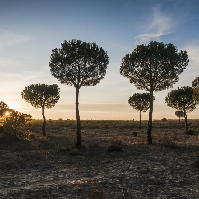 """Landscape of Stone pine (Pinus pinea) at sunset"" stock image"