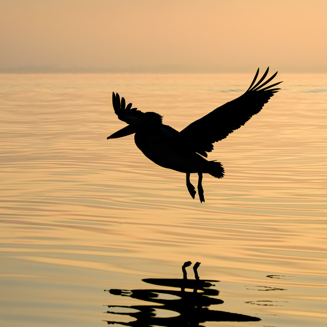 """Pelican Silhouette"" stock image"