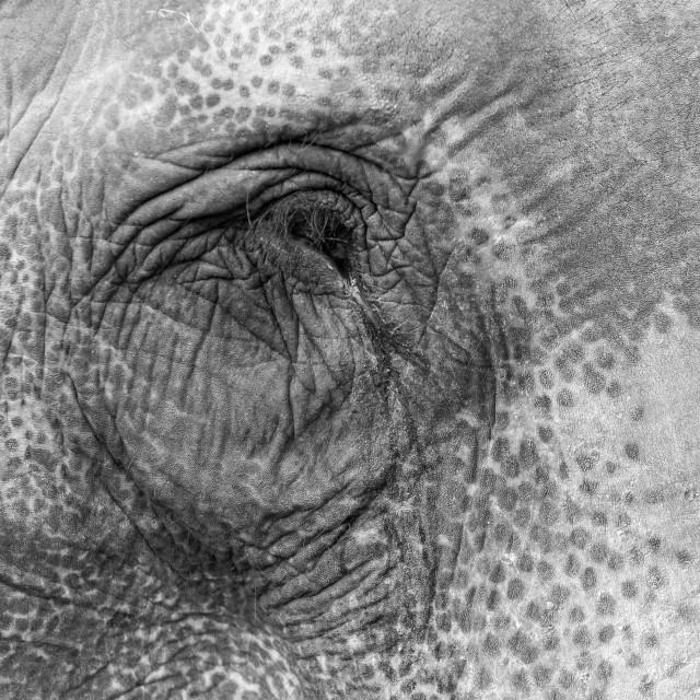 """Elephant's eye. Asiatic elephants working at Chitwan NP, Nepal"" stock image"